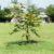 Uzupełnianie sadów młodymi drzewami