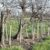 Prostowanie drzew pochyłych