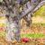 Uprawa gleby pod drzewami